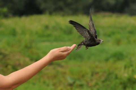 Interwencja ornitologiczna - jerzyk