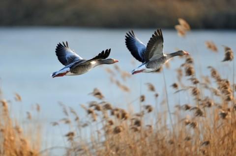 Monitoring przedrealizacyjny ptaków - gęgawa
