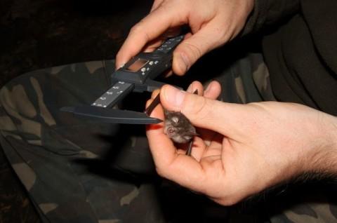 Inwentaryzacja nietoperzy wlasach - Podkowiec mały