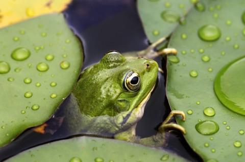 Inwentaryzacja plazów i gadów - żaba wodna