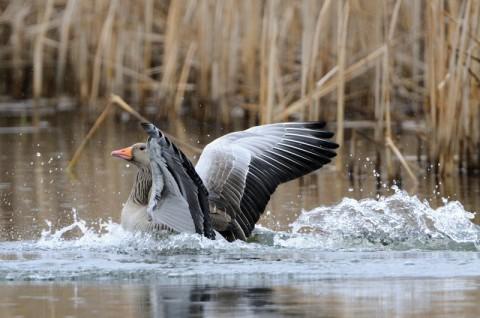Inwentaryzacja ptaków - gęgawa