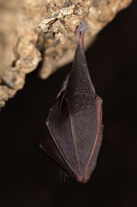 Monitoring nietoperzy GIOŚ - podkowiec mały