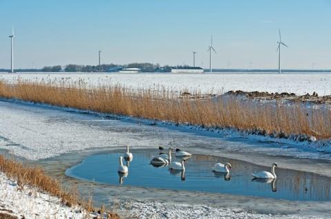 Monitoring porealizacyjny ptaków - łabędź niemy