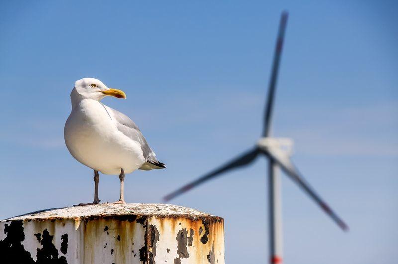 Monitoring porealizacyjny ptaków - mewa srebrzysta