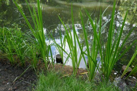 Stawy w Parku Radolińskich w Jarocinie - inwentaryzacja roślin naczyniowych