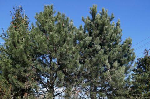 Drzewa rosnące przy ulicy Starczanowskiej w Murowanej Goślinie - Ekspertyza ornitologiczna